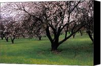 Trees Blossom Canvas Prints - Paso Robles Orchard Canvas Print by Kathy Yates