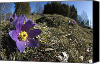 Pulsatilla Vulgaris Canvas Prints - Pasque Flower Canvas Print by Peppe Arninge