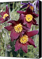 Pulsatilla Vulgaris Canvas Prints - Pasque Flower (pulsatilla Vulgaris) Canvas Print by Adrian T Sumner