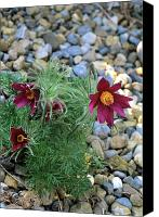 Pulsatilla Vulgaris Canvas Prints - Pasque Flowers (pulsatilla rode Klokke) Canvas Print by Adrian Thomas