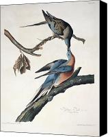 Ornithology Canvas Prints - Passenger Pigeon Canvas Print by John James Audubon