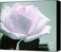 White Rose Canvas Prints - Pastel Rose Canvas Print by Kristin Kreet