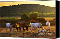 Wild Stallion Canvas Prints - Pasturing horses Canvas Print by Carlos Caetano