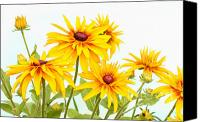 Steve Augustin Canvas Prints - Patch of Black-eyed Susan Canvas Print by Steve Augustin