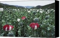 North West Frontier Province Canvas Prints - Pathan Opium Poppy Papaver Somniferum Canvas Print by Steve Raymer