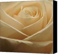 Flower Photograph Canvas Prints - Patterns in Rose Petals  Off White Canvas Print by Laura Mountainspring