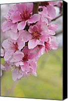 Pink Flower Branch Canvas Prints - Peach Blossoms Canvas Print by Oksana Struk