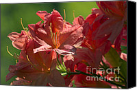 Peach Colored Canvas Prints - Peach colored Azalea Canvas Print by Sharon  Talson