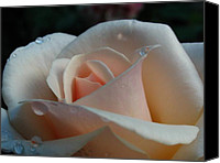 Beautiful Canvas Prints - Peach Rose Canvas Print by Juergen Roth