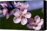 Tree Blossoms Canvas Prints - Peach Tree Blossoms Green Field Blue Sky Canvas Print by Thomas R Fletcher