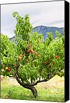 British Columbia Canvas Prints - Peaches on tree Canvas Print by Elena Elisseeva