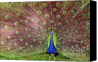 Colorful Feathers Photo Canvas Prints - Peacock Canvas Print by Carlos Caetano
