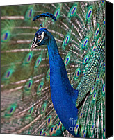 Male Canvas Prints - Peacock Display Canvas Print by Susan Candelario