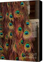 Randy A Ricketts Canvas Prints - Peacock Fall Canvas Print by Randy Ricketts