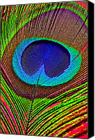 Bold Colors Canvas Prints - Peacock Feather Close Up Canvas Print by Garry Gay