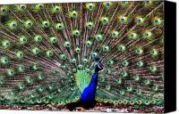 Henry Doorly Zoo Canvas Prints - Peacock Feathers Canvas Print by Karen M Scovill