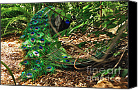 Colorful Feathers Photo Canvas Prints - Peacock Hiding Canvas Print by Kaye Menner