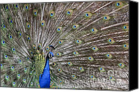Colorful Feathers Photo Canvas Prints - Peacock II Canvas Print by Teresa Zieba