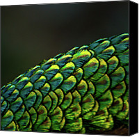 Natural Pattern Photo Canvas Prints - Peacock Canvas Print by MadmàT