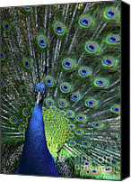 Handsome Canvas Prints - Peacock Canvas Print by Sabrina L Ryan