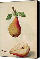 Signed Painting Canvas Prints - Pear   Pyrus Communis Canvas Print by J le Moyne de Morgues