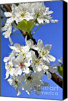 Tree Blossoms Canvas Prints - Pear Tree Blossoms Canvas Print by Thomas R Fletcher
