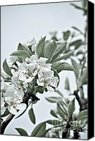 Tree Blossoms Canvas Prints - Pear Tree Branches Canvas Print by Iris Lehnhardt