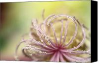 Delicate Bloom Canvas Prints - Pearly Curls Canvas Print by Sharon Johnstone