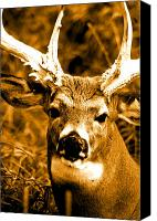 Whitetail Buck Canvas Prints - Pedestal King Canvas Print by Emily Stauring