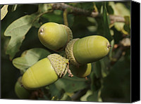 Quercus Canvas Prints - Pedunculate Oak (quercus Robur) Acorn Canvas Print by Adrian Bicker
