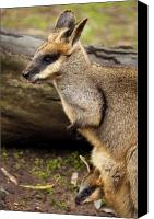 Wallaby Canvas Prints - Peeking at the World Canvas Print by Mike  Dawson
