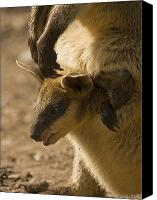 Wallaby Canvas Prints - Peeking Out Canvas Print by Mike  Dawson