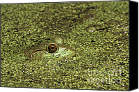 Bullfrogs Canvas Prints - Peering Bullfrog Canvas Print by John Van Decker