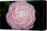 Camellia Canvas Prints - Pefectly Pink Canvas Print by Rich Franco