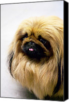 Animal Head Shot Canvas Prints - Pekingese Canvas Print by Andrew Fladeboe