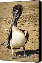 Pelicans Canvas Prints - Pelican on beach in Mexico Canvas Print by Elena Elisseeva