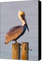 Perch Canvas Prints - Pelican Perch Canvas Print by Janet Fikar