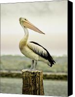 Waterfowl Canvas Prints - Pelican Poise Canvas Print by Holly Kempe