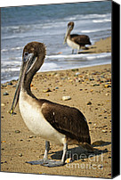 Pelicans Canvas Prints - Pelicans on beach in Mexico Canvas Print by Elena Elisseeva