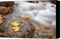 Maple Leafs Canvas Prints - Pemigewasset Wilderness - Hellgate Brook  Canvas Print by Erin Paul Donovan