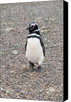 Valdes Canvas Prints - Penguin walking in patagonia Canvas Print by Maria isabel Villamonte
