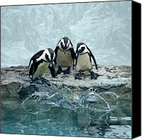 Cliff Canvas Prints - Penguins Canvas Print by Fotografias de Rodolfo Velasco