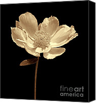Umber Canvas Prints - Peony Flower Portrait Sepia Canvas Print by Jennie Marie Schell