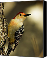 Woodpecker Canvas Prints - Perched and Ready Canvas Print by Lana Trussell