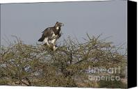 Predator Canvas Prints - Perched Serengeti Falcon Canvas Print by Darcy Michaelchuk