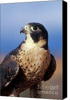 North American Wildlife Canvas Prints - Peregrine Falcon Canvas Print by Sandra Bronstein