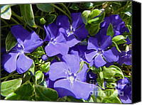 Vinca Flowers Canvas Prints - Periwinkle Vinca Minor - Seasonal Garden Flower Canvas Print by Photography Moments - Sandi