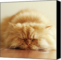 Turkey Photo Canvas Prints - Persian Cat Sleeping Canvas Print by Hulya Ozkok