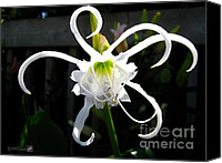 Spider Lily Canvas Prints - Peruvian Daffodil named Advance Canvas Print by J McCombie
