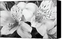 Flower Images Canvas Prints - Peruvian Lilies  Flowers Black and White Print Canvas Print by James Bo Insogna